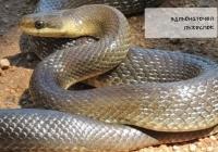 Шестте отровни змии в България